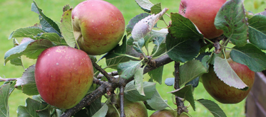 Apple Day at New Warlands Farm